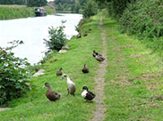 Hungry ducks approach us for food