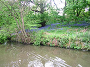 Lots of bluebells by the canal