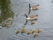 Canadian Geese and their young