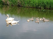 Swans and their young