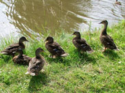 Tame ducks