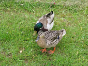 Friendly ducks
