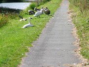 Swans and their young on the towpath
